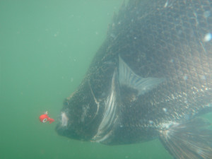 charleston-triple-tail-fish-image7